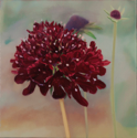 Scabious  12x12  2012